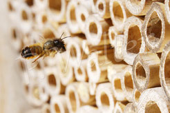 Bild: Rostrote Mauerbiene, Osmia bicornis, Lehmklumpen, im Flug