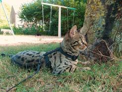 ♀ Queenanncats Sagirah