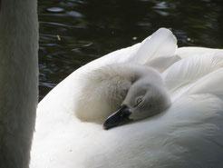 Schwan mit Baby,  Vogelbeobachtung Mecklenburger Seenplatte