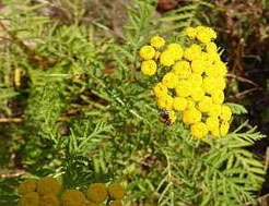 Rainfarn (Familie: Korbblütler)