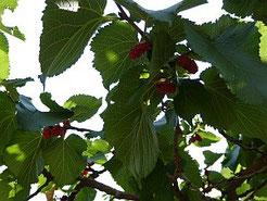 Maulbeerbaum mit reifen Früchten