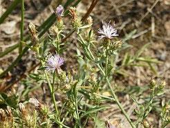 Sparrige Flockenblume (Familie: Nelkengewächse)