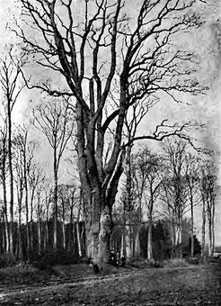 Königseiche um 1907, Wilhelm Brandes