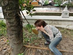 道端にも家の庭にも。マンゴー、パパイヤ、ジャックフルーツなどなど。たくさん果物が実ってます!ちょいとつまみ食い(。-∀-)ニヒ♪