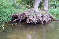 Ein reich strukturierter Uferbereich bietet zahlreiche Versteckmöglichkeiten.