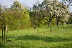 Nachpflanzungen verschiedener Obstbaumarten, Foto: NABU Stuttgart