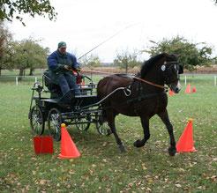 Welsh C Pony