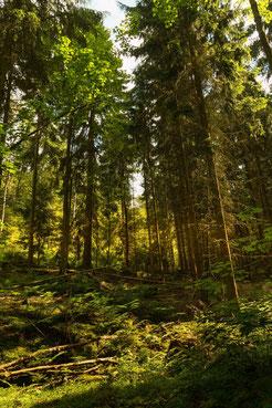 Wald in der späten Nachmittagssonne