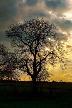 Kahler Baum als Silhouette im Sonnenuntergang