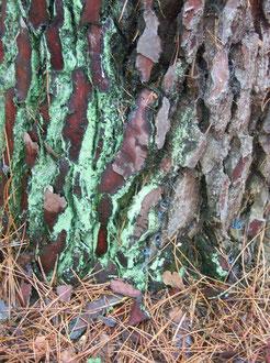 Nice bark...Recloses, France