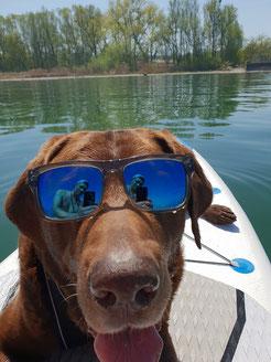 Ein Hund mit Sonnenbrille auf einem Stand up Paddel Board. Stand up Paddeln mit Hund