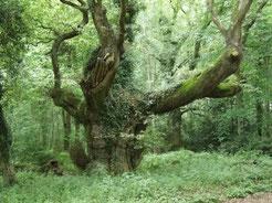 今は倒れていますが大きなオークの木