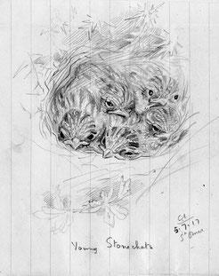Nestling stonechats