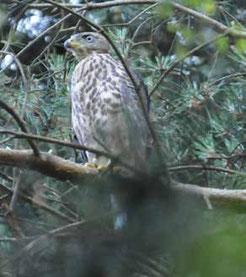 Habicht-Jungvogel im Buchholzer Wald / Foto: Ph. Koch