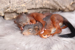 squirrel adult Eichhörnchen Strickkobel