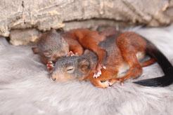 squirrel adult Eichhörnchen Strickkobel