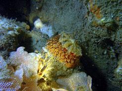 umbraculum mediterraneum, warzige Schirmschnecke