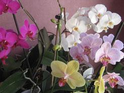 Phalaenopsis variés