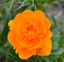 Fleurs des steppes mongoles