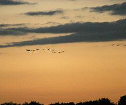 Flug der Kraniche zum Schlafplatz. Fotos: Erich Greiner