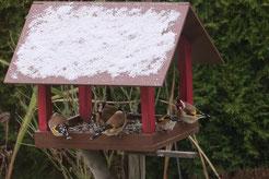 Albert Kegel aus Eutritzsch hat in seinem Garten mindestens 8 Stieglitze beobachtet und einige am Futterhäuschen fotografiert.