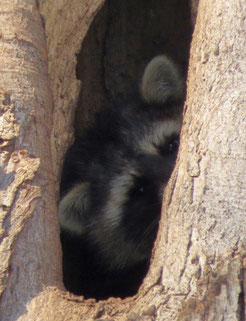 Waschbär in einer Waldkauzhöhle. Foto: Karsten Peterlein