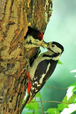 Beim Rundgang über den Südfriedhof konnte man auch die Vogelwelt beobachten. Konstant rufende junge Buntspechte machen es leicht, die Bruthöhle zu entdecken. Foto: Dr. Martin Grimm