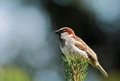 """Unser häufigster Singvogel 2012 war der Haussperling (Passer domesticus). Bei der """"Stunde der Gartenvögel"""" wurden deutschlandweit 151.065 Exemplare gezählt, das sind etwa fünf Spatzen pro Garten. Foto: Nadine Wolf/LBV"""