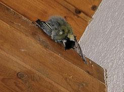 Diese Kohlmeise ist ein weiteres Todesopfer der Klebepaste. Foto: Landratsamt Heilbronn