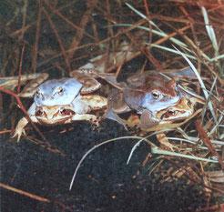 Der Moorfrosch (Rana arvalis) besiedelt bevorzugt Lebensräume mit hohem Grundwasserstand. Die Laichgewässer in der nordwestlichen Leipziger Aue sollen durch Wiedervernässung gesichert werden. Foto: Dieter Florian