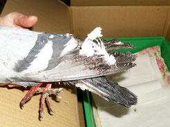 Diese verklebte Taube wurde auf dem Augustusplatz gefunden. Mehrere Reinigungsbehandlungen waren nötig, um ihr das Leben zu retten. Foto: Carola Bodsch