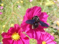 Am 9. August 2016 wurde diese Blaue Holzbiene in einem Garten in Böhlen fotografiert. Insgesamt sind hier zwei dieser Insekten unterwegs. Besonders gern besuchen sie die Cosmeablüten.