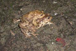 Ein Erdkröten-Pärchen auf Wanderschaft zum Laichgewässer. Der NABU will dafür sorgen, dass sie dort sicher ankommen. Helfer bringen sie an verschiedenen Stellen in Leipzig über die Straßen.