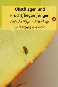 #Fruchtfliegen und #Obstfliegen: Vorbeugung, Soforthilfe und Fallen selber bauen