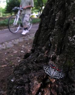 樹液を吸うアカボシゴマダラ