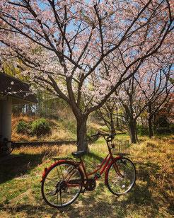 Mi bici bajo los cerezos. No es en Kioto, pero vale para el tema que se trata.