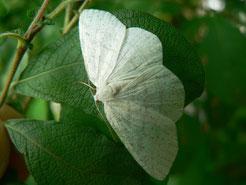 Weidenspanner  (Cabera exanthnata)