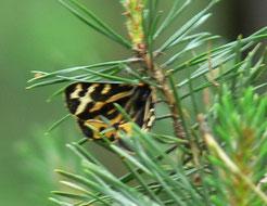 Wegerichbär  Weibchen
