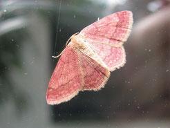 Violettroter Kleinspanner(Scopula rubiginata)