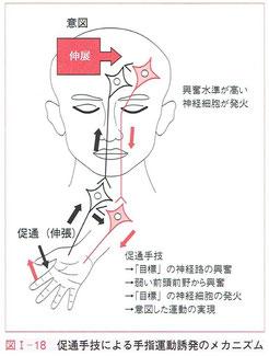 促通手技による手指運動誘発のメカニズム