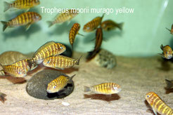 Tropheus, Tropheus moorii, Tropheus moorii murago, Tropheus moorii murago yellow