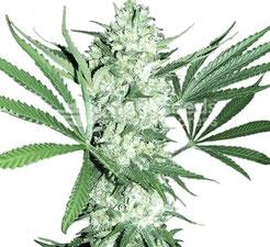 NYC Diesel Cannabis Sorte