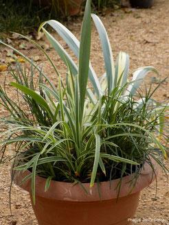 iris japonica variegata, ophiopogon, carex, perennial, evergreen, jesen zima, trajnice
