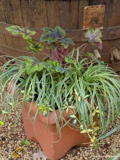 heucherella, carex, vinca, trajnice, perennials, evergreen, zima, jesen