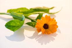 Heilpflanzentherapie Ringelblume