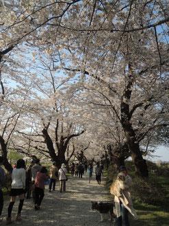 桜の回廊の中はこんな感じです。
