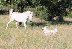 Cheval et berger blanc suisse combe noire white shepherd aigle tournelle montpellier