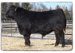 This is Prime Cut 741S, one of our foundation Angus herd sires.