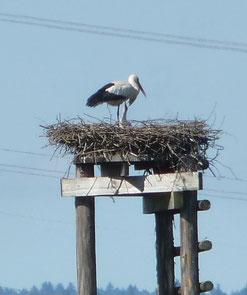 Der Jungvogel wird von seinen Eltern versorgt