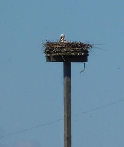 Das zweite Storchenpaar am Aussiedlerhof brütet noch